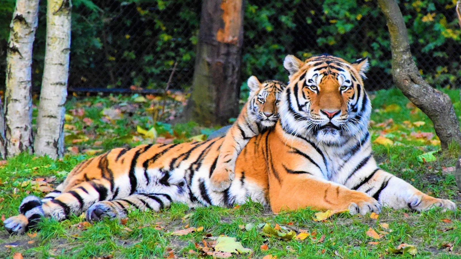 photo-of-tiger-and-cub-lying-down-on-grass-pictures