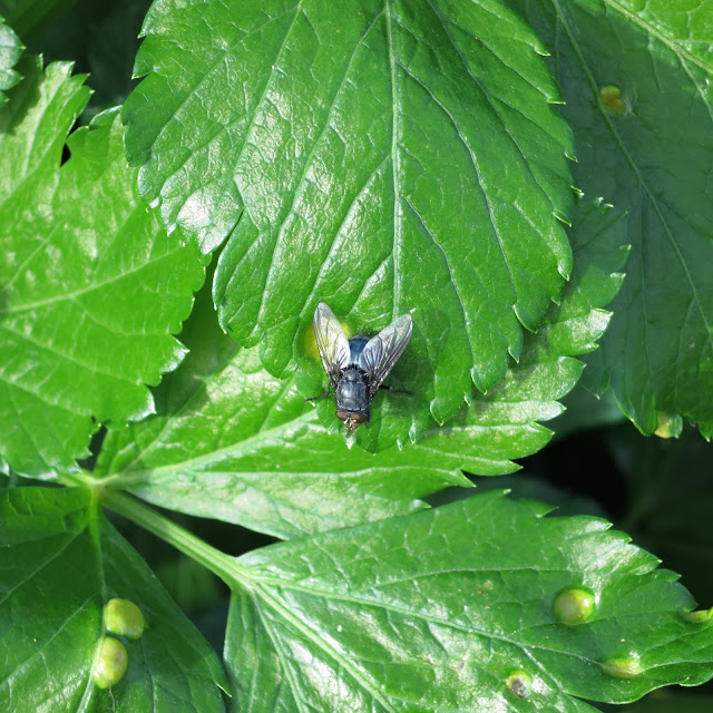 Fly sitting on the glossy leaves of  Smyrnium olusatrum - alexanders.