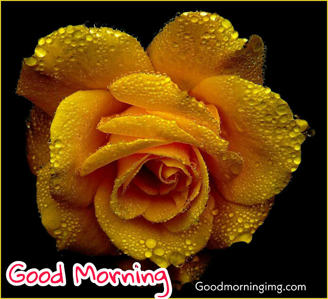 Beautiful Good Morning Orange Rose Image Hd
