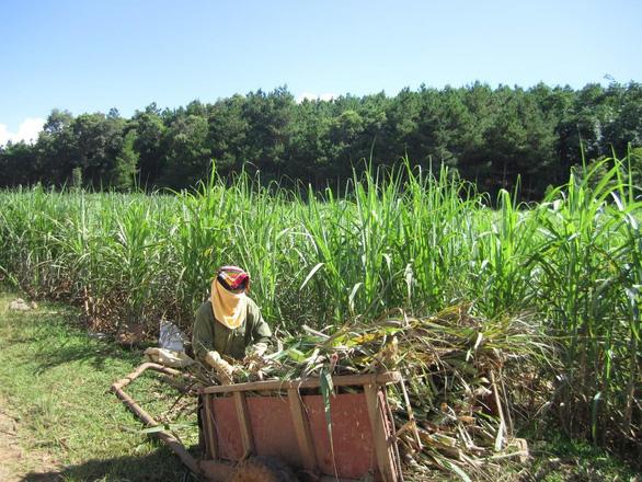 Ngành mía đường trong nước đã được bảo hộ sau quyết định điều tra nhiều hình thức phòng vệ thương mại đối với sản phẩm nhập khẩu - Ảnh: T.T