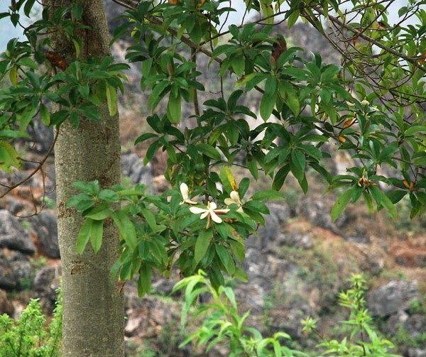 Cây Giổi (Dổi) - Talauma gioi - Nguyên liệu làm thuốc Chữa Tê Thấp và Đau Nhức