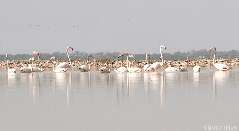 Flamingos At the Sambhar Lake