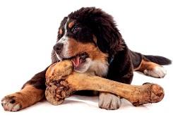 Porque os cachorros roem ossos?