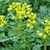 Απήγανος: Το φυτό που διώχνει τη γρουσουζιά, τη γλωσσοφαγιά και το κακό μάτι