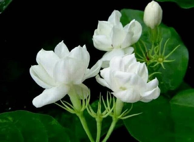 gambar flora bunga melati