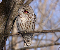 Barred owl yawning- Quebec City, QC – photo by Cephas