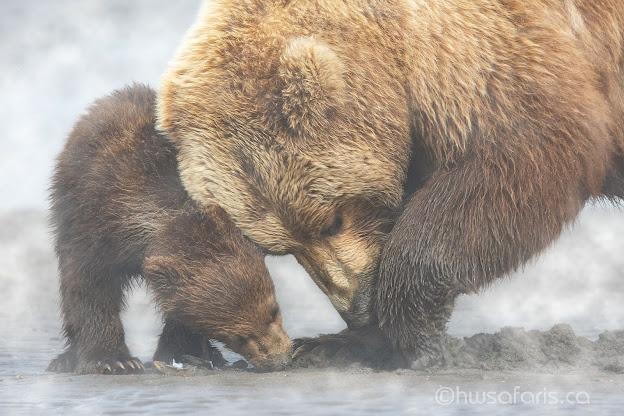 Alaskan Coastal Brown Bears Clamming