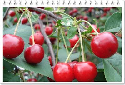manfaat buah ceri
