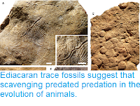 https://sciencythoughts.blogspot.com/2019/01/ediacaran-trace-fossils-suggest-that.html