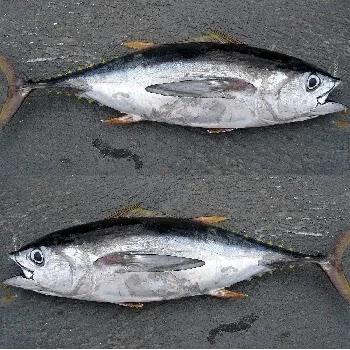 कुपा मासा, Tuna fish name in Marathi