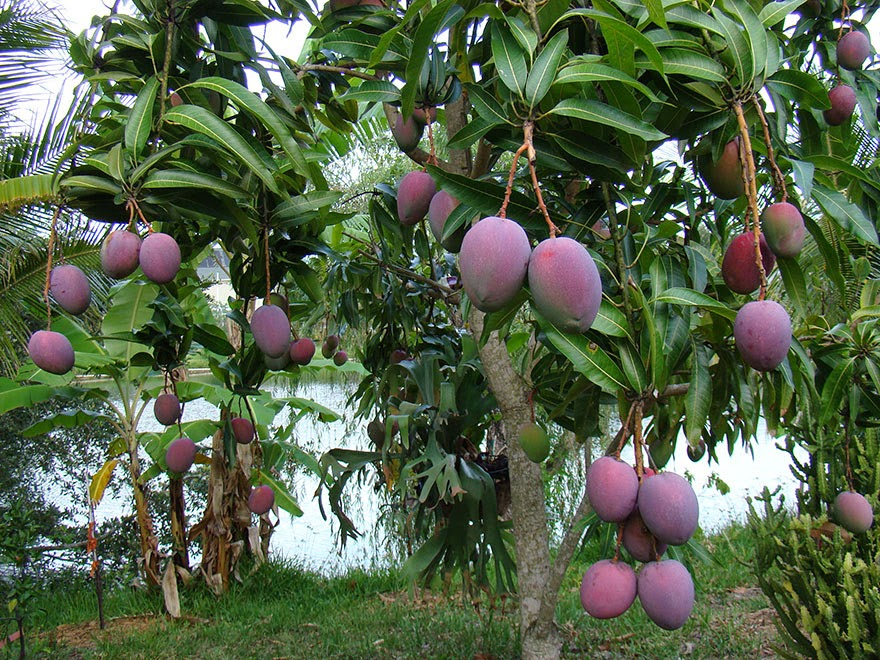 Do You Know What Your Favorite Foods Look Like While Growing - Mangos ripening on the tree.