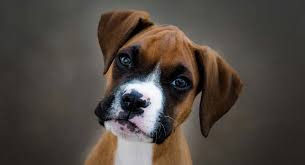 chiens les plus forts,les chiens le plus dangereux du monde,le top du top des chiens les plus dangereux,chien,top 5 des chiens les plus dangereux du monde,top 10 des chiens les plus dangereux du monde !,combats de chiens,chien de garde,chiens,les chiens les plus dangereux du monde,combat de chien,5 chiens les plus dangereux du monde,top 5 des chiens les plus dangereux