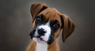 Dog Boxer est l'un des types de chiens les plus féroces au monde