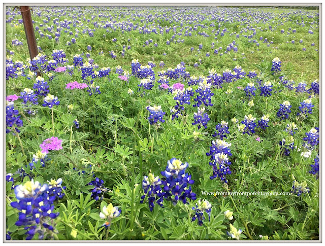 Texas Bluebonnets-Springtime In Texas-From My Front Porch To Yours