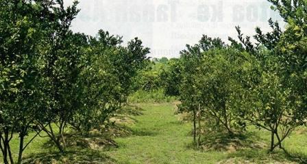 Analisis Perkebunan jeruk siam