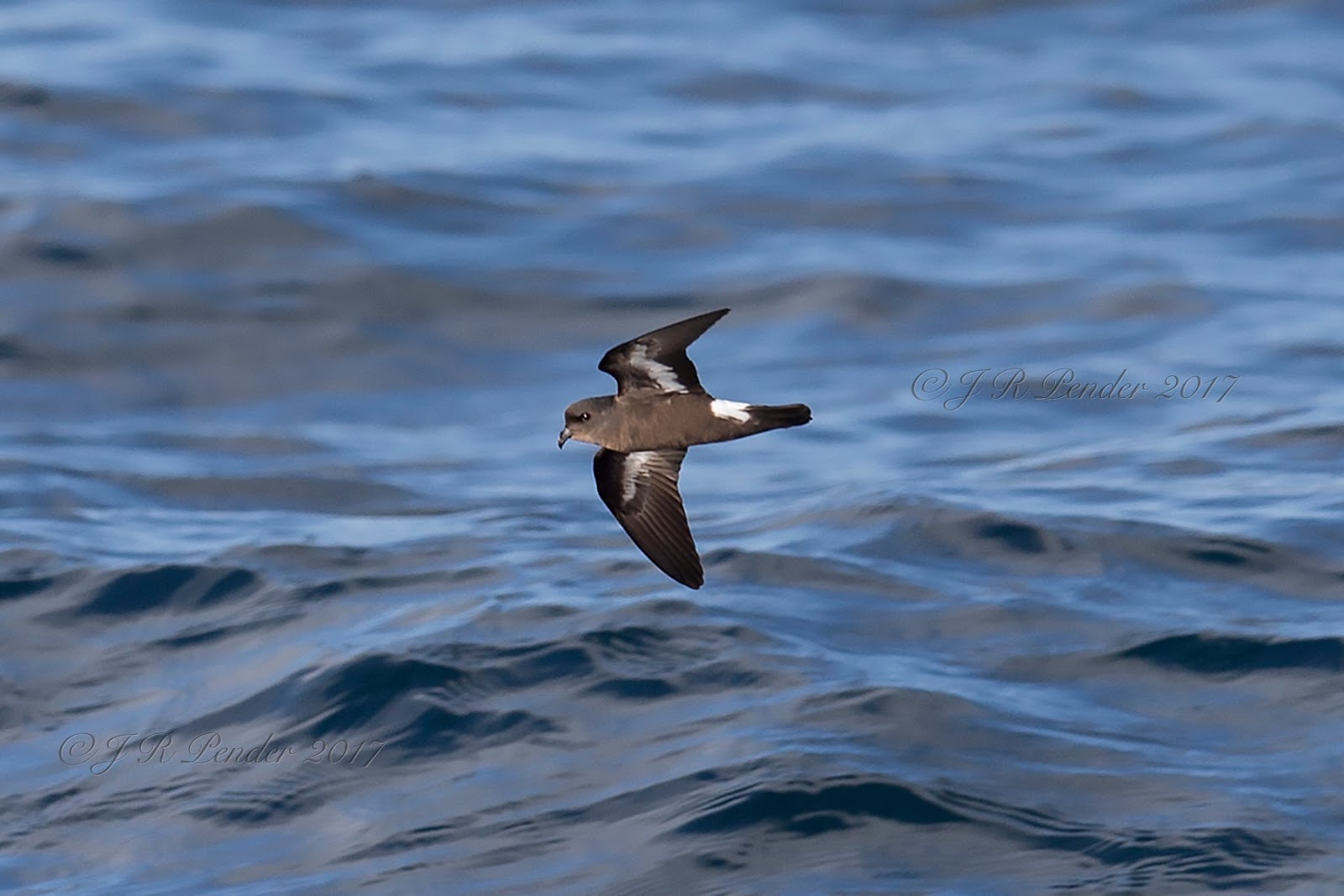 Thank You Joe Wilson >> Joe Pender Wildlife Photography: Storm Petrels