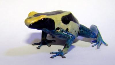 Dyeing poison frog - Dendrobates tinctorius