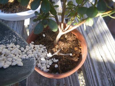 ミヤマキリシマ 用土