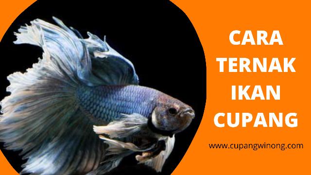 Cara Ternak Ikan Cupang Ala Cupang Winong