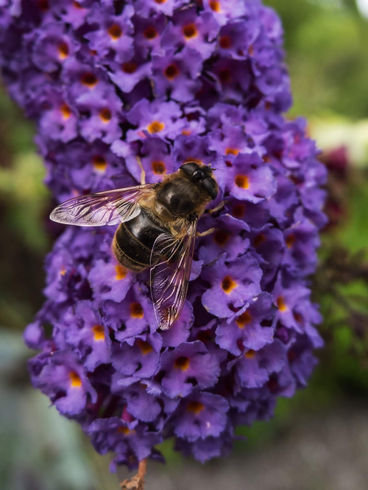 A macro of a bee mimicking fly on a Butterfly Bush.