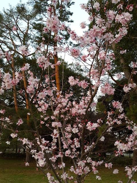 Blooming Sakura Tree at Kyoto Gyoen National Garden