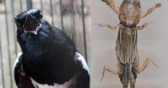 Mendongkrak Stamina Dan Mental Burung Kacer Dengan Orong Orong Kicaumania Sejati