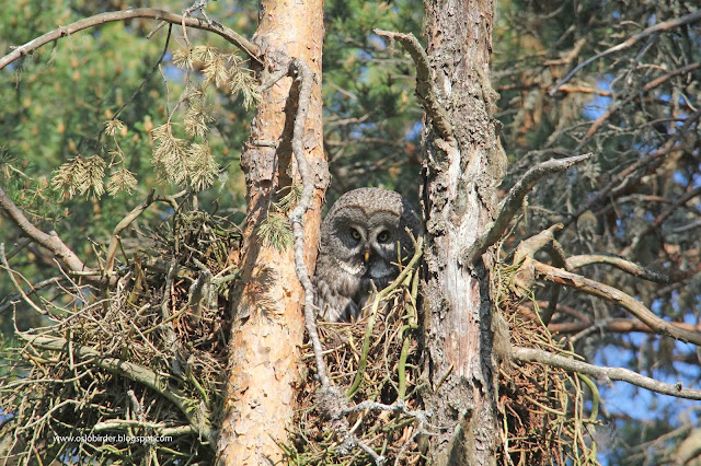 Money on the Great Grey Owls