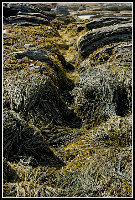 Nova Scotia; Maritimes; Seaweed; Rocks: Beach