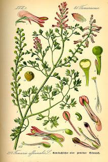 Botanical illustration of Fumaria officinalis.