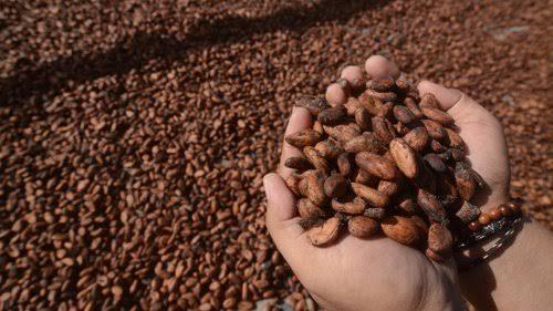 Penghasil cokelat