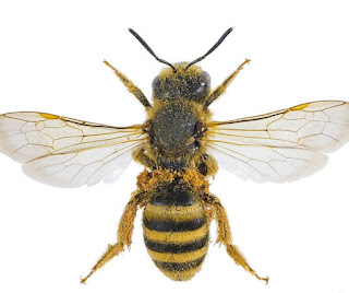 How to get rid of sweat bees? Do sweat bees sting?