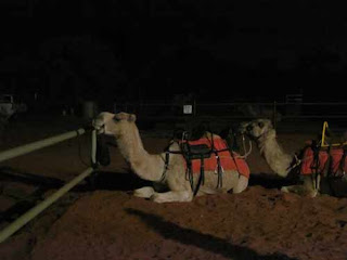 Uluru Camel Tour Camels Sit On Ground