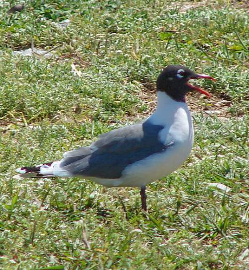 Indian birds - Picture of Franklin's gull - Leucophaeus pipixcan