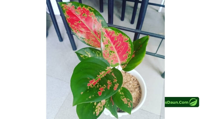 Cara-Memilih-Aglaonema-Red-Kochin