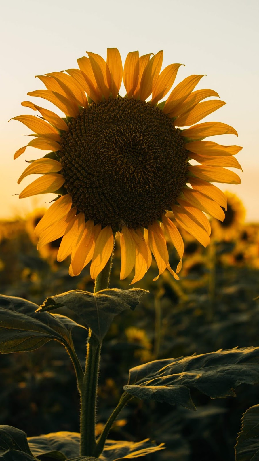 Sunflower in the sunset android wallpaper