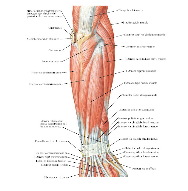 Muscles of Forearm (Superficial Layer): Posterior View Anatomy