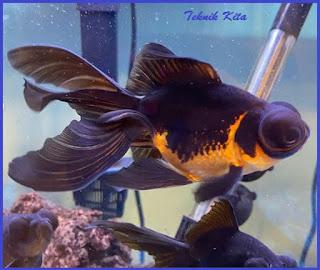 Penyebab warna ikan koki pudar