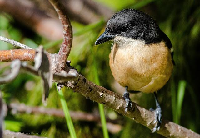 Southern Boubou Shrike Kirstenbosch National Botanical Garden Cape Town Vernon Chalmers Photography
