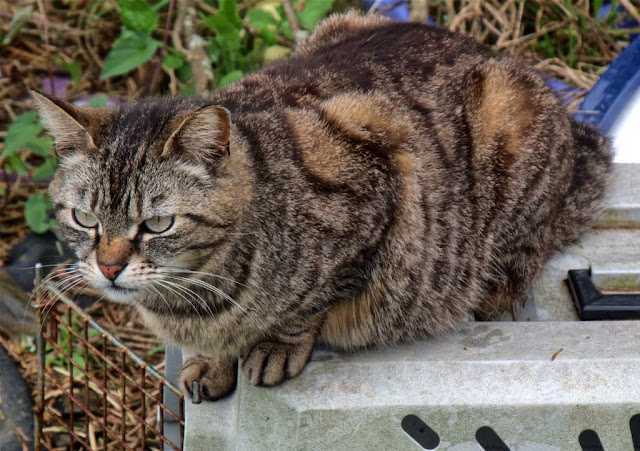 The Good Mother tabby feral cat