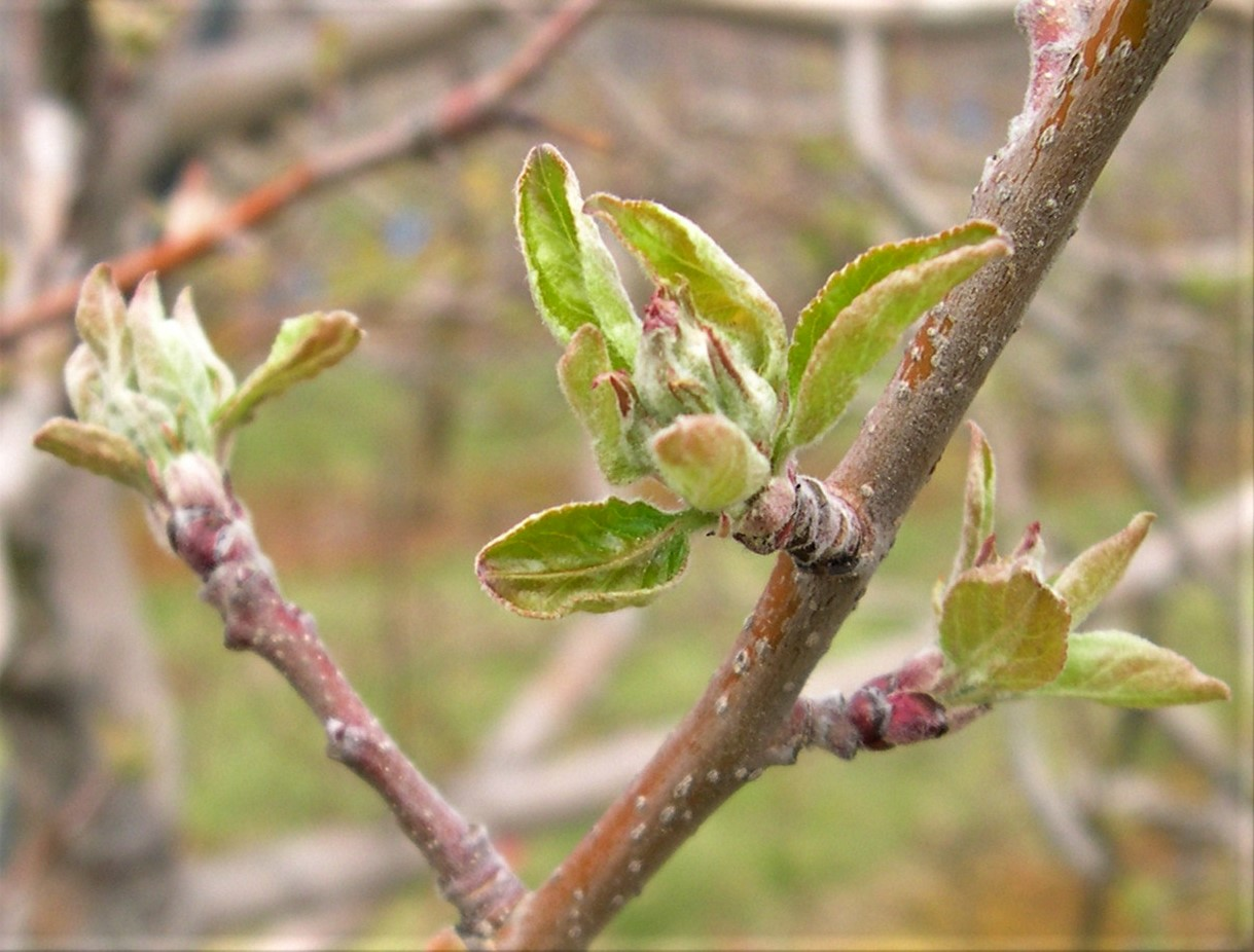 Tree Fruit Disease Update: Apple scab infection April 5-6
