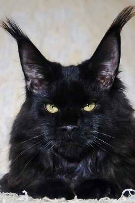 Amazing lynx tipped ears on a black Maine Coon