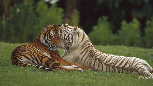 Mooie tijger foto met twee knuffelende tijgers