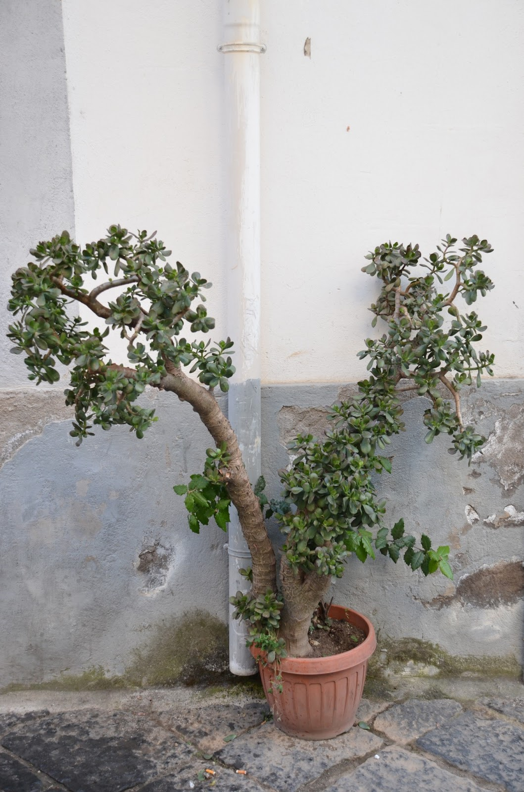 HOW TO CARE FOR THE JADE PLANT The Garden Of Eaden