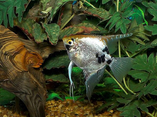 Pemilihan induk ikan manfish untuk Budidaya