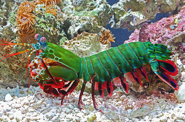 12 Mysterious But Beautiful Creatures You've Probably Never Seen - PEACOCK MANTIS SHRIMP