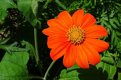bunga titonia