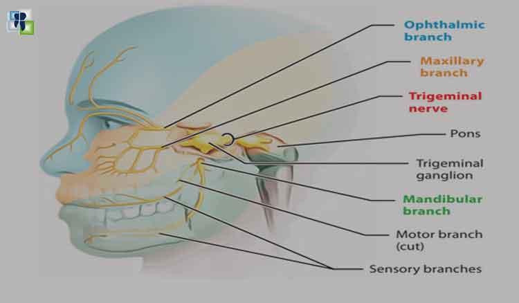 فروع العصب مثلث التوائم - العصب البصري و عصب الفك العلوي