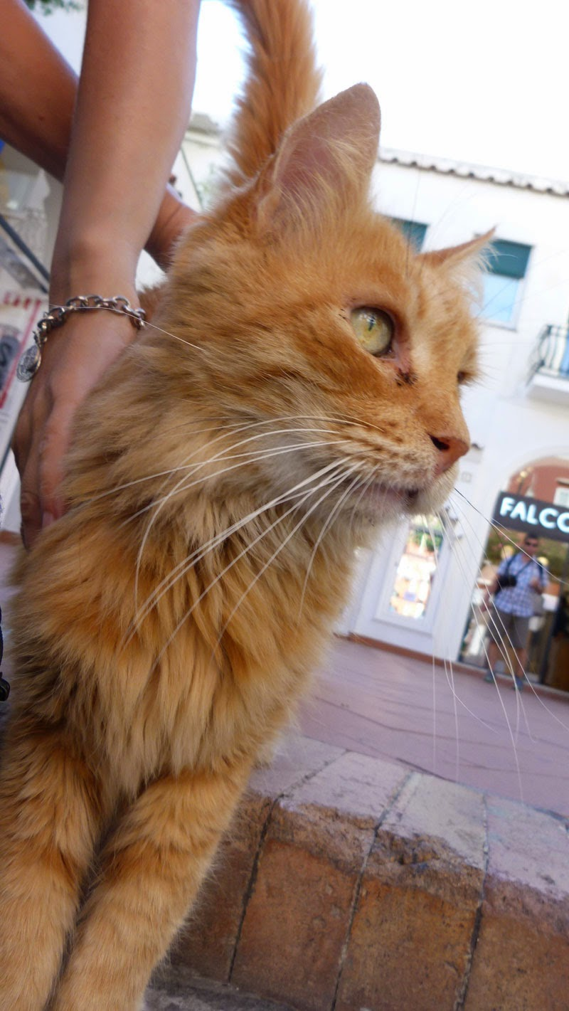 Gato em rua de comércio , passeio em Capri
