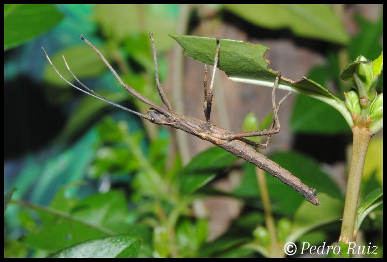 Ninfa macho L4 de Pseudophasma subapterum, 2,6 cm de longitud