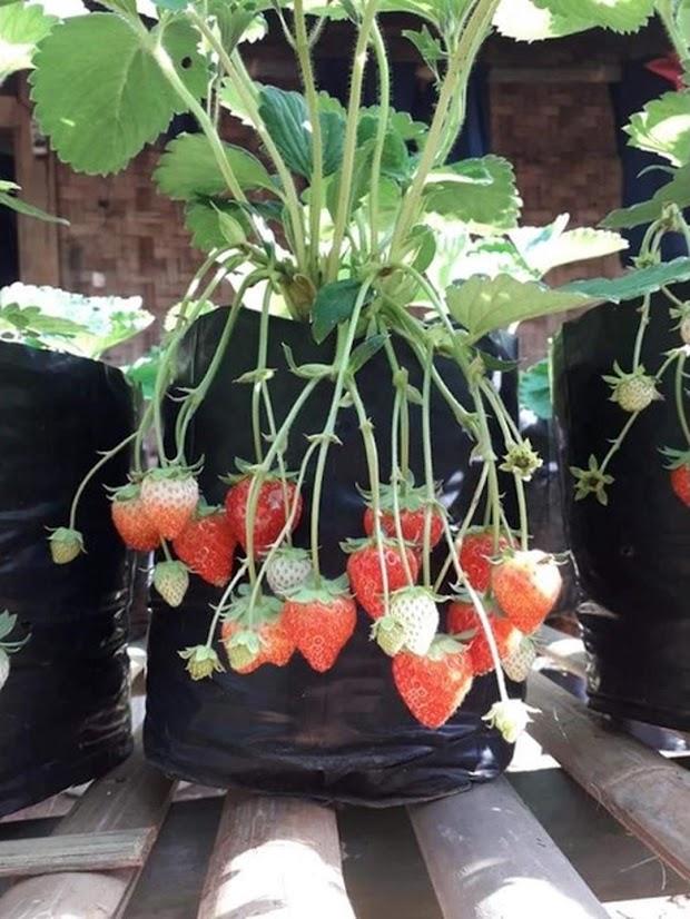 Bibit Tanaman Strawberry Nusa Tenggara Barat